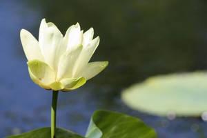 Lily 1 by Aldistar