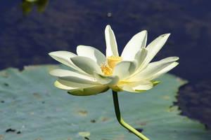 Lily 3 by Aldistar
