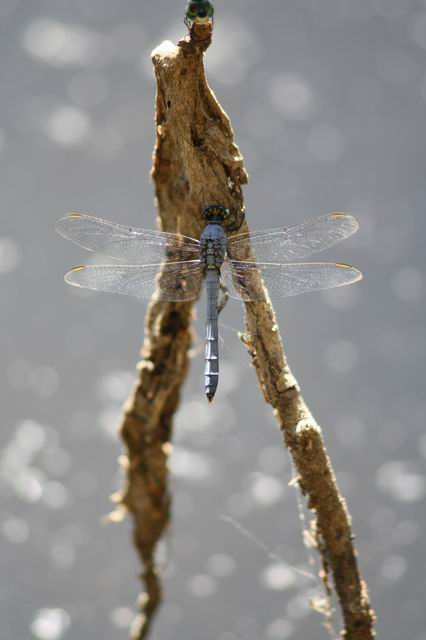 Ice Blue Dragon by Aldistar