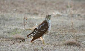 Young Hawk 2 by Aldistar