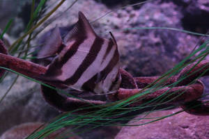 Zebra Stripes by Aldistar