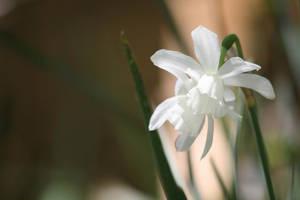 White Daffodil by Aldistar