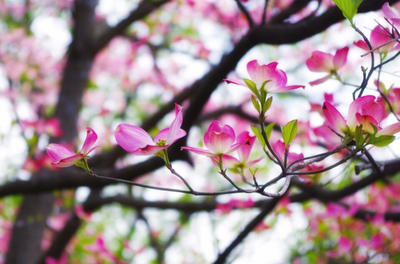 Pink Dogwood Branch  by VoidedPhoenix