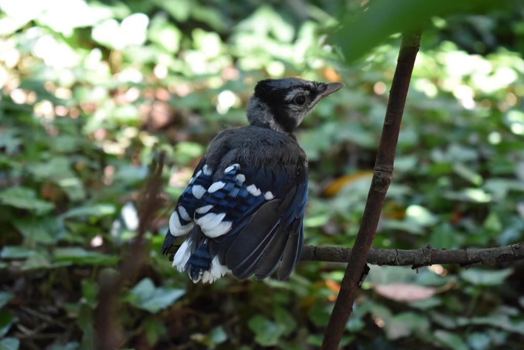 Blue Jay Fledgling by VoidedPhoenix