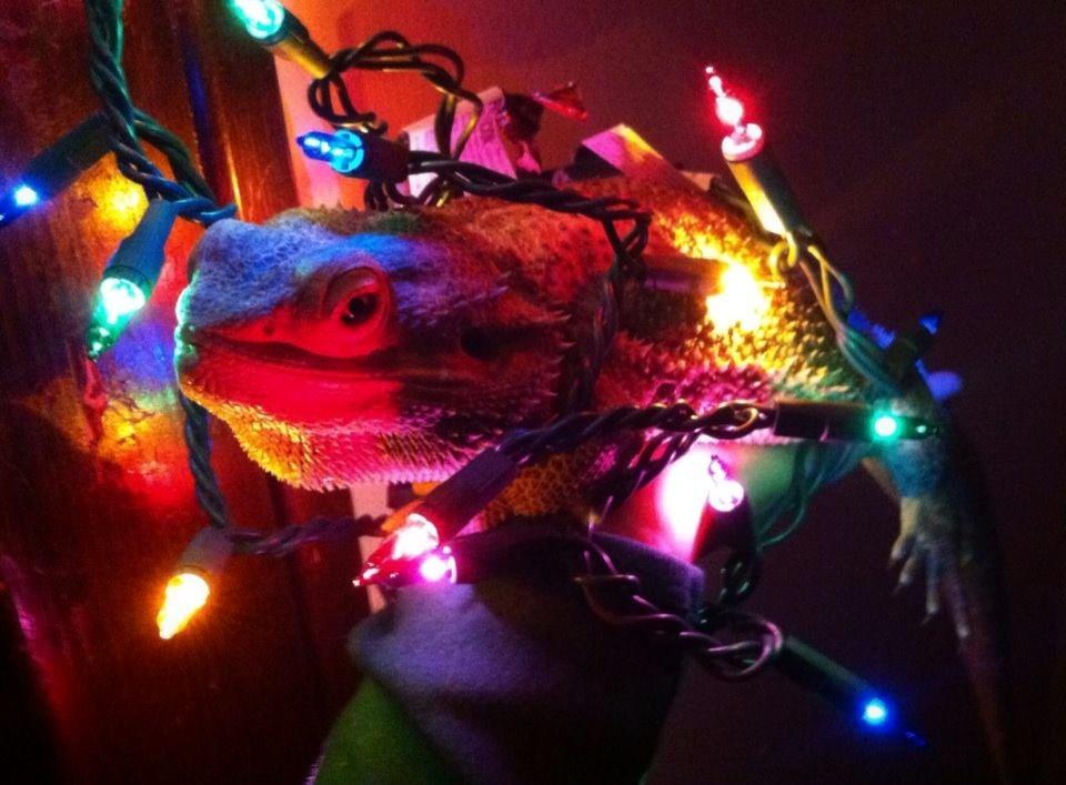 Bearded dragons make good christmas decorations by for Good christmas decorations