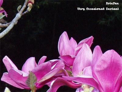 Magnolia ID by EvieFae
