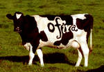 my name on a cow