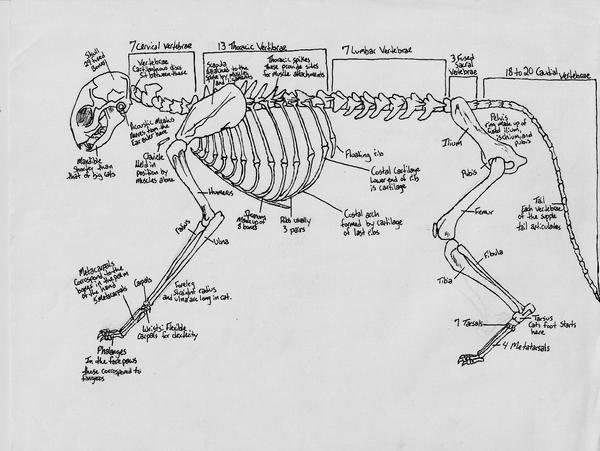 female cat reproductive system diagram