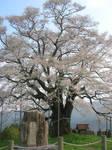 1000 year Cherry by koala2all