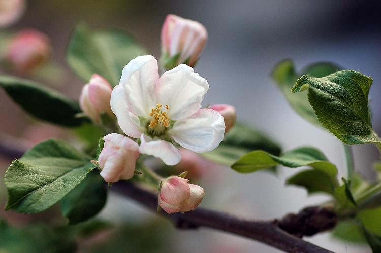 apple tree blossom by guytz