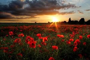 Poppies by ChrisDonohoe
