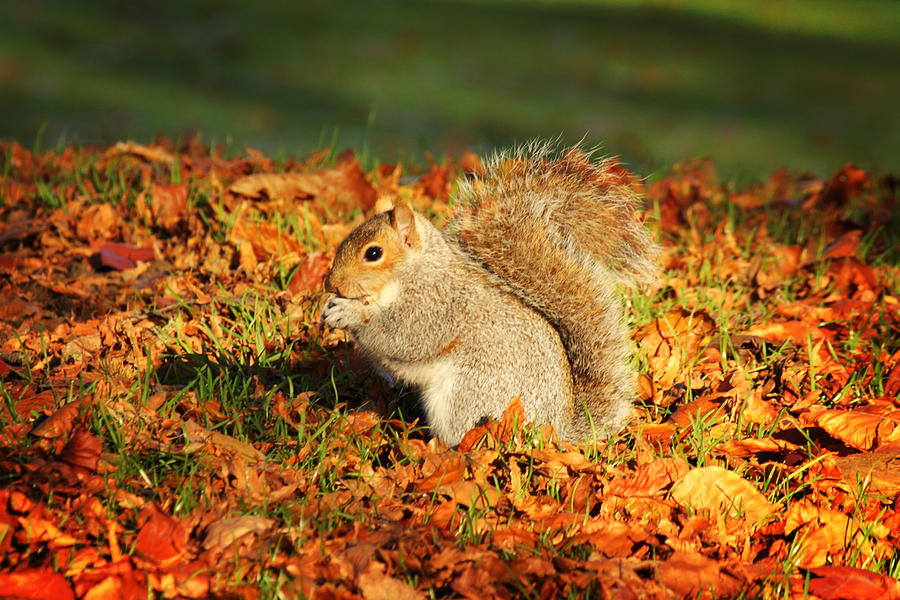 autumn squirrel by chrisdonohoe on deviantart