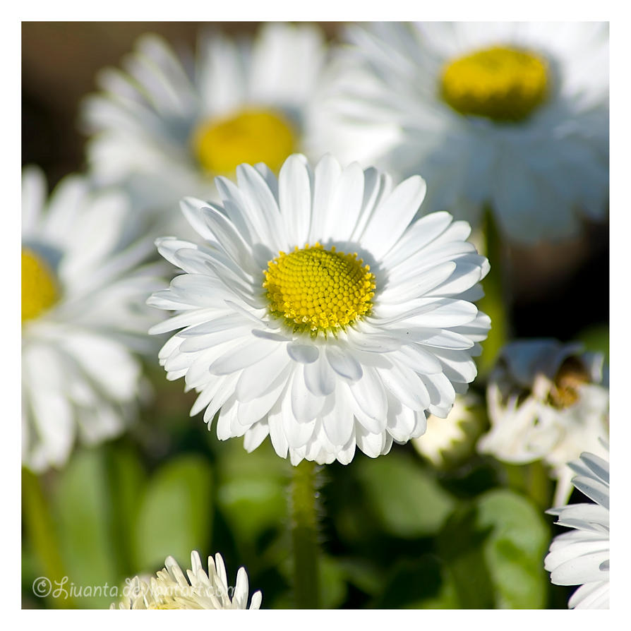 Daisies by Liuanta