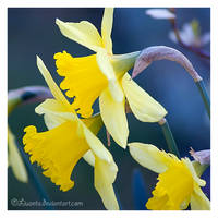 Daffodils by Liuanta