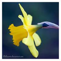 Daffodil by Liuanta
