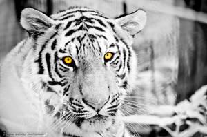 Tiger wall 2