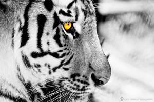 Tiger wall 3
