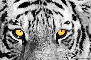 Tiger wall 4