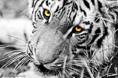 Tiger wall 5