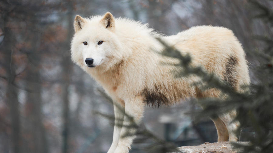 arctic wolf wallpaper  Wallpapers 1920x1080 arctic wolf by wolfkART on DeviantArt