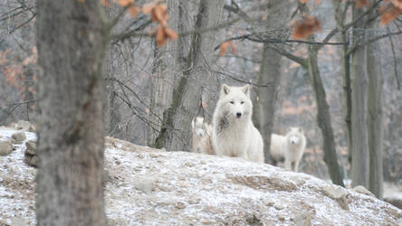 Wallpapers 1920x1080 arctic wolf 2