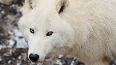 Wallpapers 1920x1080 arctic wolf 3