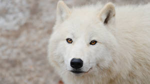 Wallpapers 1920x1080 arctic wolf 4