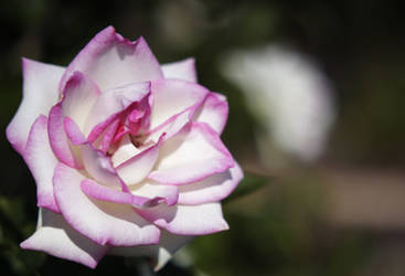 Rose 5 by Moisl