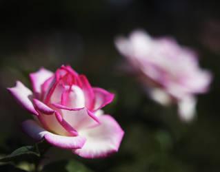Rose 6 by Moisl