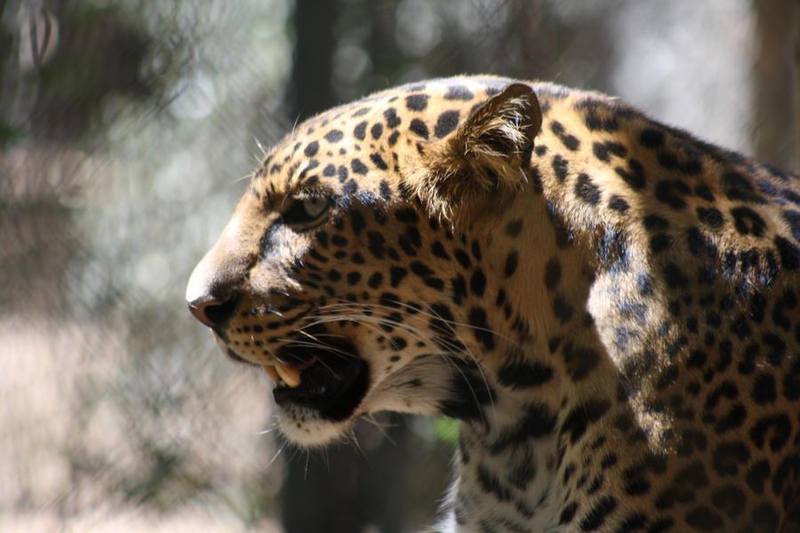 angry baby cheetah - photo #20