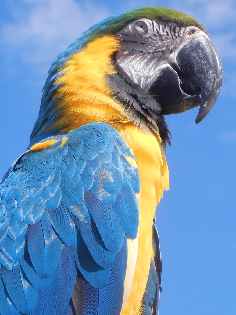 Blue Macaw by Zafer-Aistra