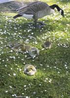 Goslings by puimun