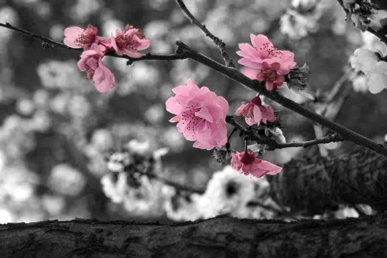 Black And White Cherry Blossom By Melliemackay On Deviantart