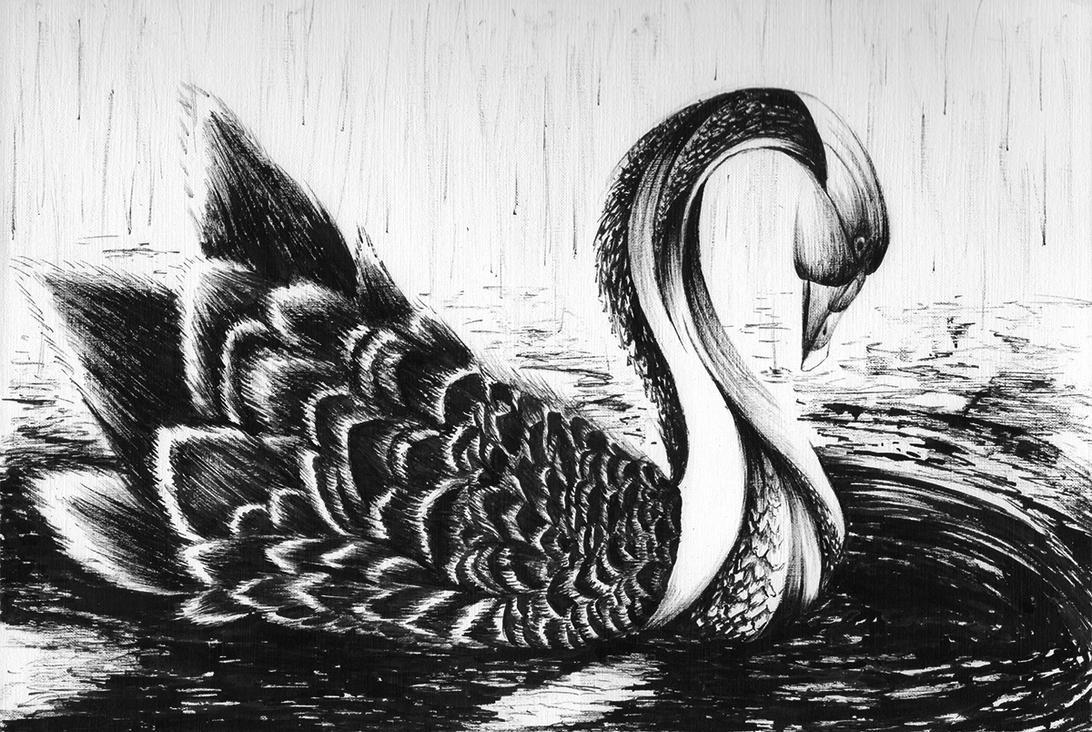 Swan by cav