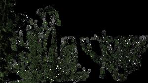 Liere grimpant 03