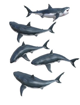 White Sharks 02