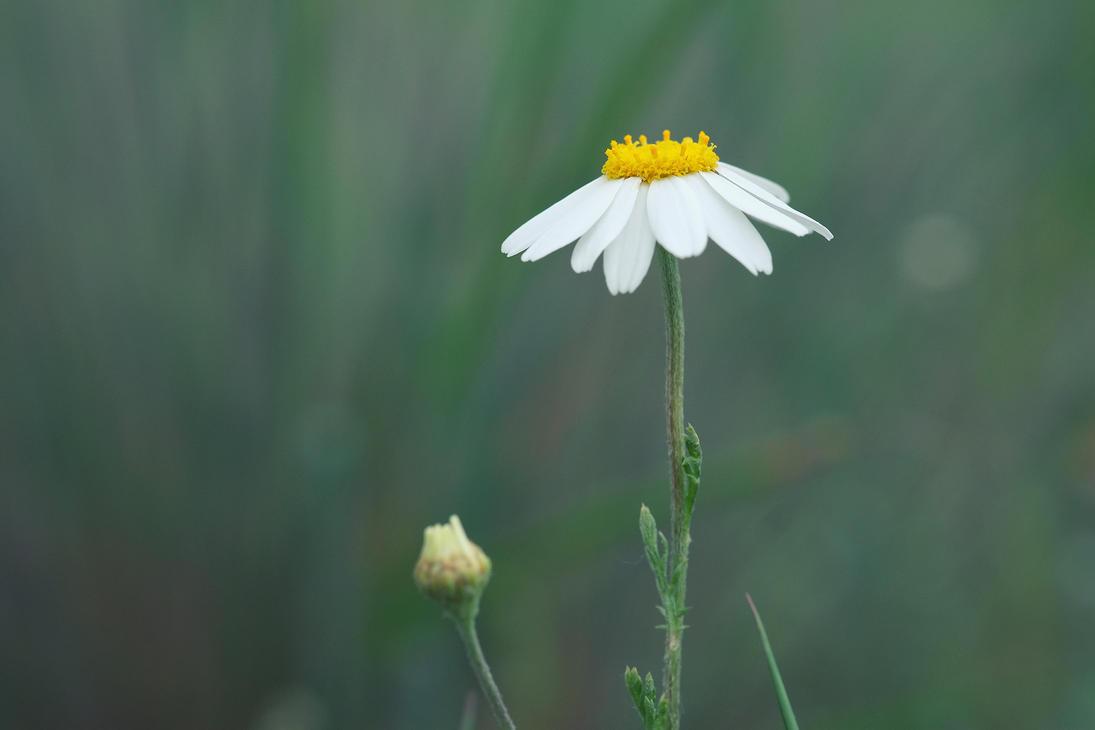 Flower by xzb