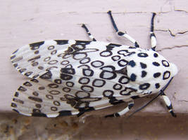 Giant Leopard Moth by RacieB