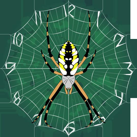Argiope aurantia clock