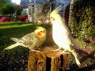 Cockatiels Outside by ToxisGrey