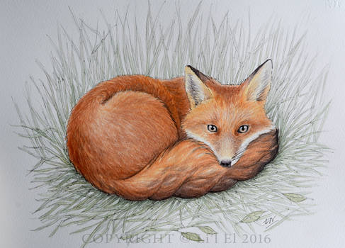Curled Fox