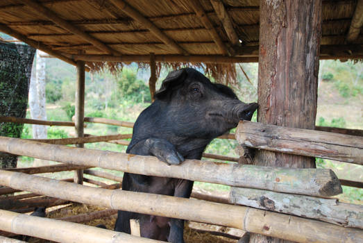 Black piggie