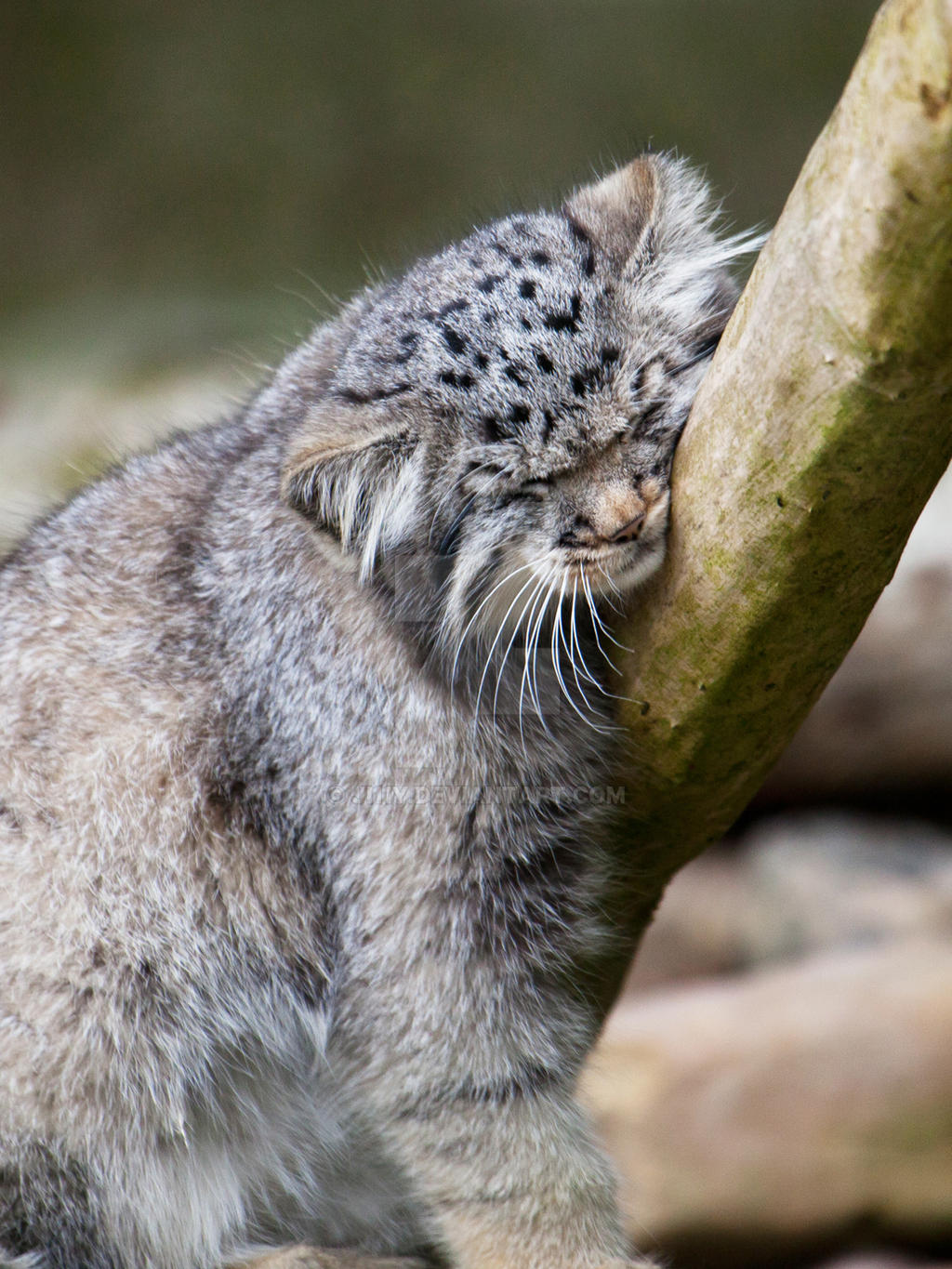 Pin on Pallas's cat