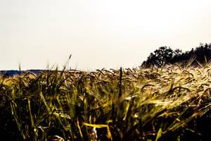 Wheat by Flipslide