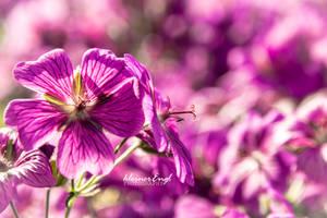 purple dream by kleinerEngl