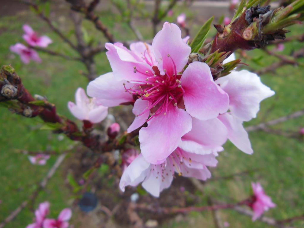 Peach Tree Flower | www.imgkid.com - The Image Kid Has It!