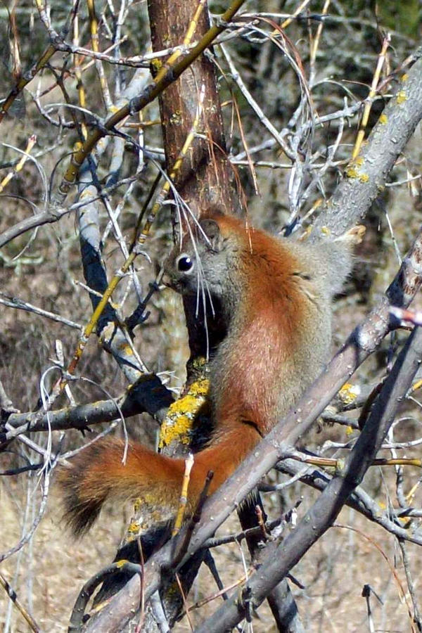 Demon Squirrel Too by cordria