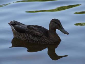 Duck by thomaspwgy