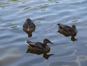 Ducks by thomaspwgy
