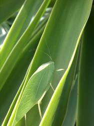 Leaf Bug Thing